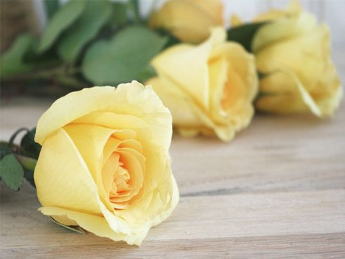 Yellowroses1a